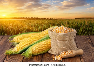 fresh corn cobs and dry seeds in bag on wooden table with green maize field on the background. Agriculture and harvest concept. Sunset or dawn