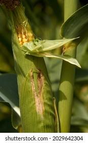 fresh corn growing in the field, corn farm, autumn harvest, green husk. High quality photo