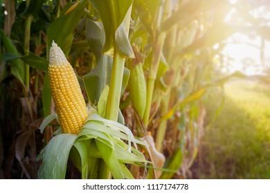 Fresh corn open show grain in the field.