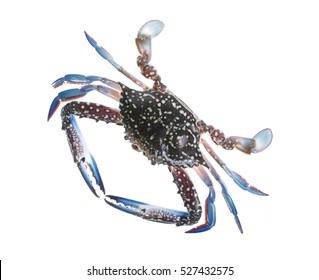 Fresh crab isolation on white