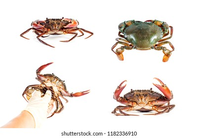 Fresh crabs in hand and gesture of sea crab on the white background.