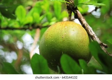 Fresh Crescentia cujete on Calabash Tree in the park