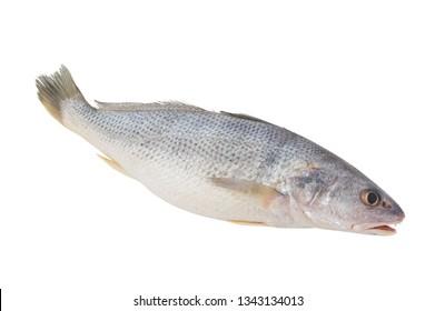 Fresh croaker fish close up