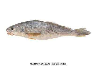 Fresh croaker fish isolated on white background