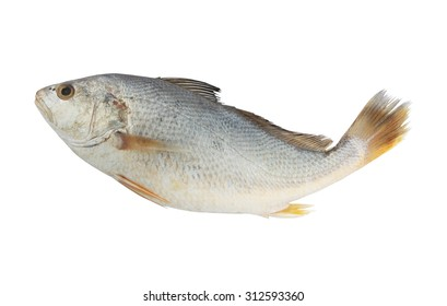 Fresh croaker fish isolated on white background