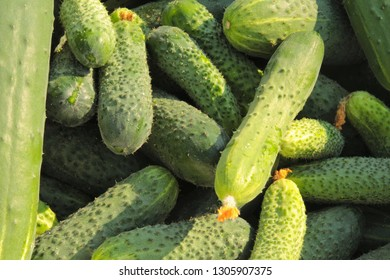 Fresh crop of cucumbers, natural farm products, excellent green background