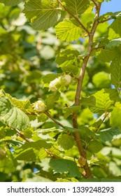 Fresh crop harvest of hazel filbert nuts on a sunny morning