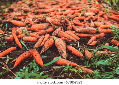 fresh crop of organic carrot on the ground