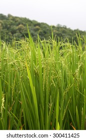 Fresh crop ready to harvest after a good monsoon season in India.