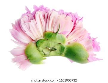 Fresh crushed damaged  bud of a pink peony.  Isolated on white studio macro concept