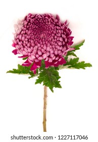 fresh crysanthemum isolated on white