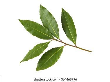 Fresh culinary Bay Leaves or Bay Laurel leaves, Laurus Nobilis on a branch.