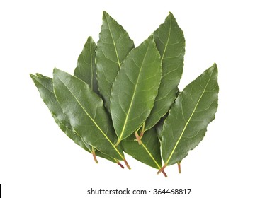Fresh culinary Bay Leaves or Bay Laurel leaves, Laurus Nobilis, used to flavor food.