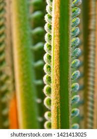 Fresh curvy sago palm baby leaves