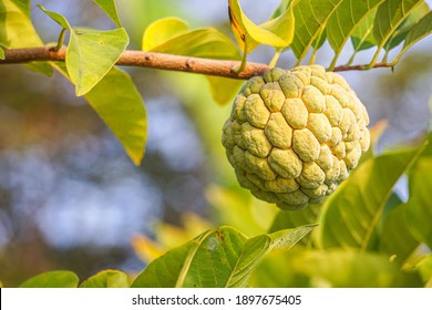 Fresh custard apple on tree in the morning on natural background.  - Image