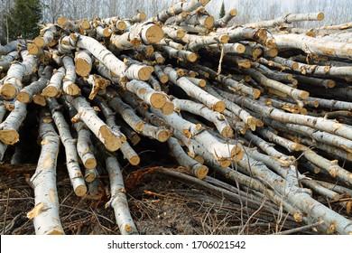 fresh cut poplar trees in northern Minnesota