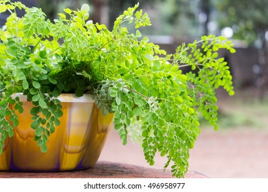 Fresh cut super-food moringa sits in a bowl, waiting to be dried.