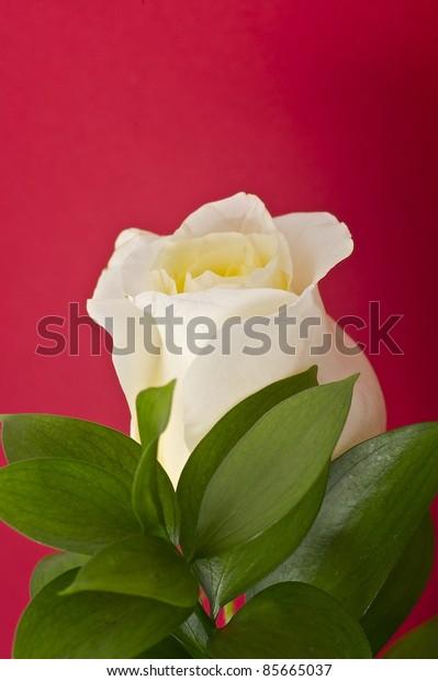 Fresh Cut White Rose - Burgundy Background