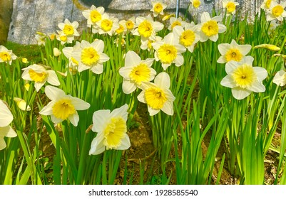 Fresh daffodil flowers in the park