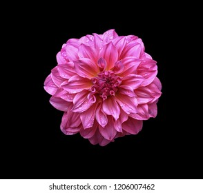 Fresh Dahlia flower Pink Dahlia flower with water drop . light pink flower. on black background.
