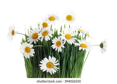 Fresh daisies. Summer flower