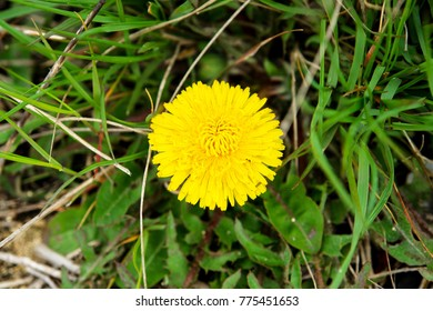 A fresh dandelion flower is growing in the middle of fresh green grass. Park or garden place.