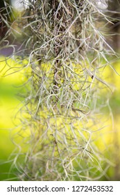Fresh, dangling Spanish moss on a live oak tree with a bokeh background. Taken in Pawley's Island, South Carolina