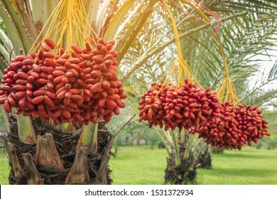 Fresh date palms that have an important place in advanced desert agriculture. Concept of harvesting,  Date Palm. Raw Date Palm(Phoenix dactylifera) fruits growing on a tree.