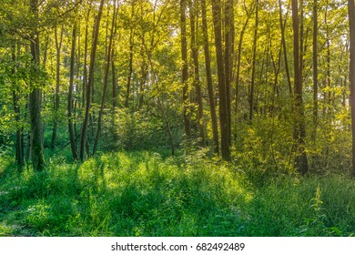 Fresh deciduous forest with green grass in golden evening light