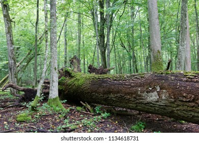 Fresh deciduous stand of Bialowieza Forest in summer with dead broken oak tree partly declined in foreground,Bialowieza Forest,Poland,Europe