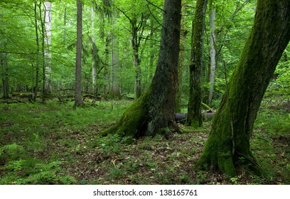 Fresh deciduous stand of Bialowieza Forest in springtime with moss wrapped hornbeams in foreground