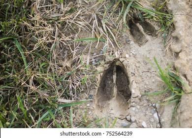 Fresh Deer Tracks