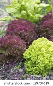 fresh and delicious green and red lettuce in garden