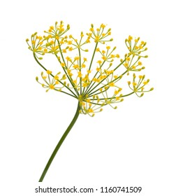 fresh dill flowers on white background