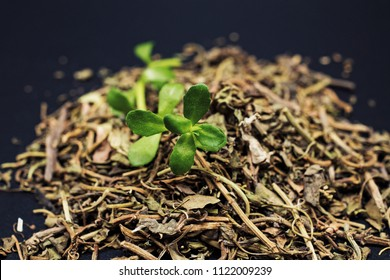 Fresh and dried bacopa herb plant, known from Ayurveda as Brahmi. Herb photo is on a dark background.