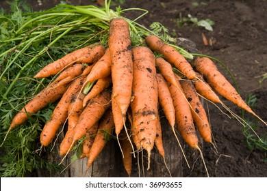 Fresh dug carrots