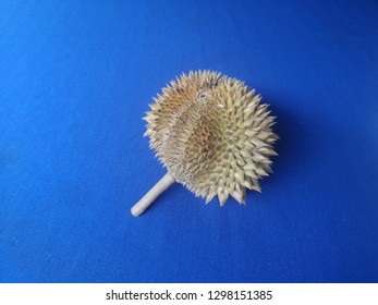 Fresh durian fruit with blue table background. Scientific name: Durio zibethinus.