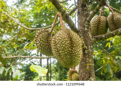 Fresh durian fruit on tree. Durians are the king of fruits, tropical of asian fruit