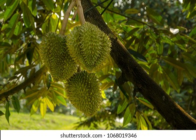 Fresh durian on tree by gardening system,Durian plantation, Durians are the king of fruits and can be grown in the right Tropical area only,chantaburi,Thailand is the best product place