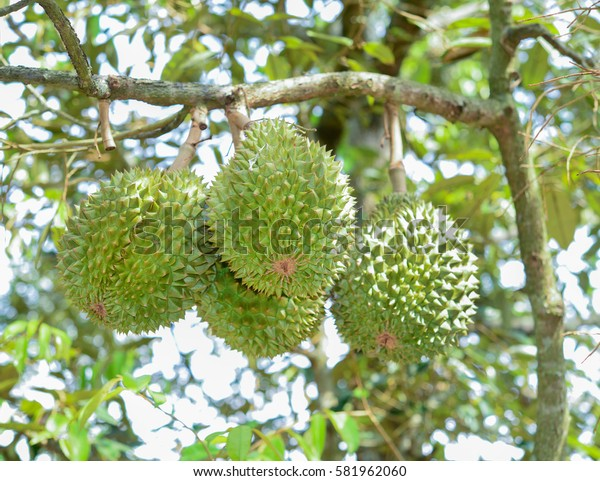 Fresh durian on tree in durian orchard