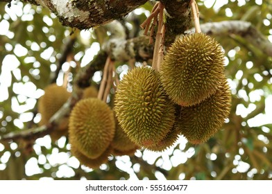 Fresh durians, the king of fruit on the tree in Pahang, Malaysia