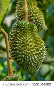 Fresh durians in the local garden. Durian is the king of fruit in Thailand. One of the most delicious durian is call durian Monthong.
