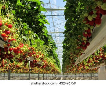 Fresh Dutch strawberry in a greenhouse.