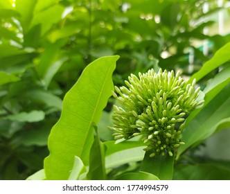 Fresh dwarf lang-lang flower bud on tree in the garden.