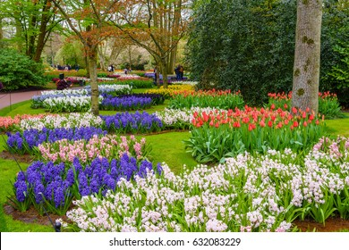 Fresh early spring pink, purple, white hyacinth bulbs. Flowerbed with hyacinths in Keukenhof park, Lisse, Holland, Netherlands.