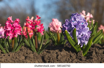 Fresh early spring purple and pink hyacinth bulbs, grown in Land (garden), gladiolus and hyacinth. Flowerbed with hyacinths. Spring Soil