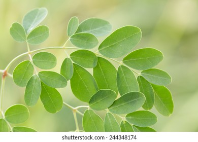 Fresh edible moringa leaves