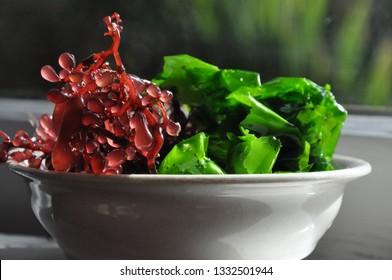 fresh edible seaweed - sea grapes and sea lettuce (backlit)