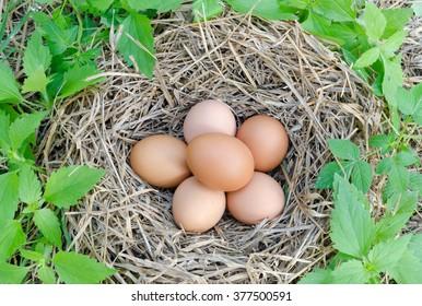 Fresh eggs in nest.