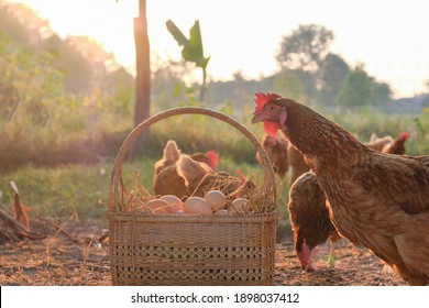 fresh eggs in a wooden basket at chicken coop in the morning sunrise.